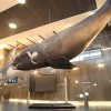Museu da Baleia, The Whale Museum, in Funchal